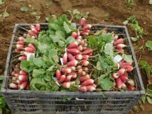 Radish Harvest & Processing
