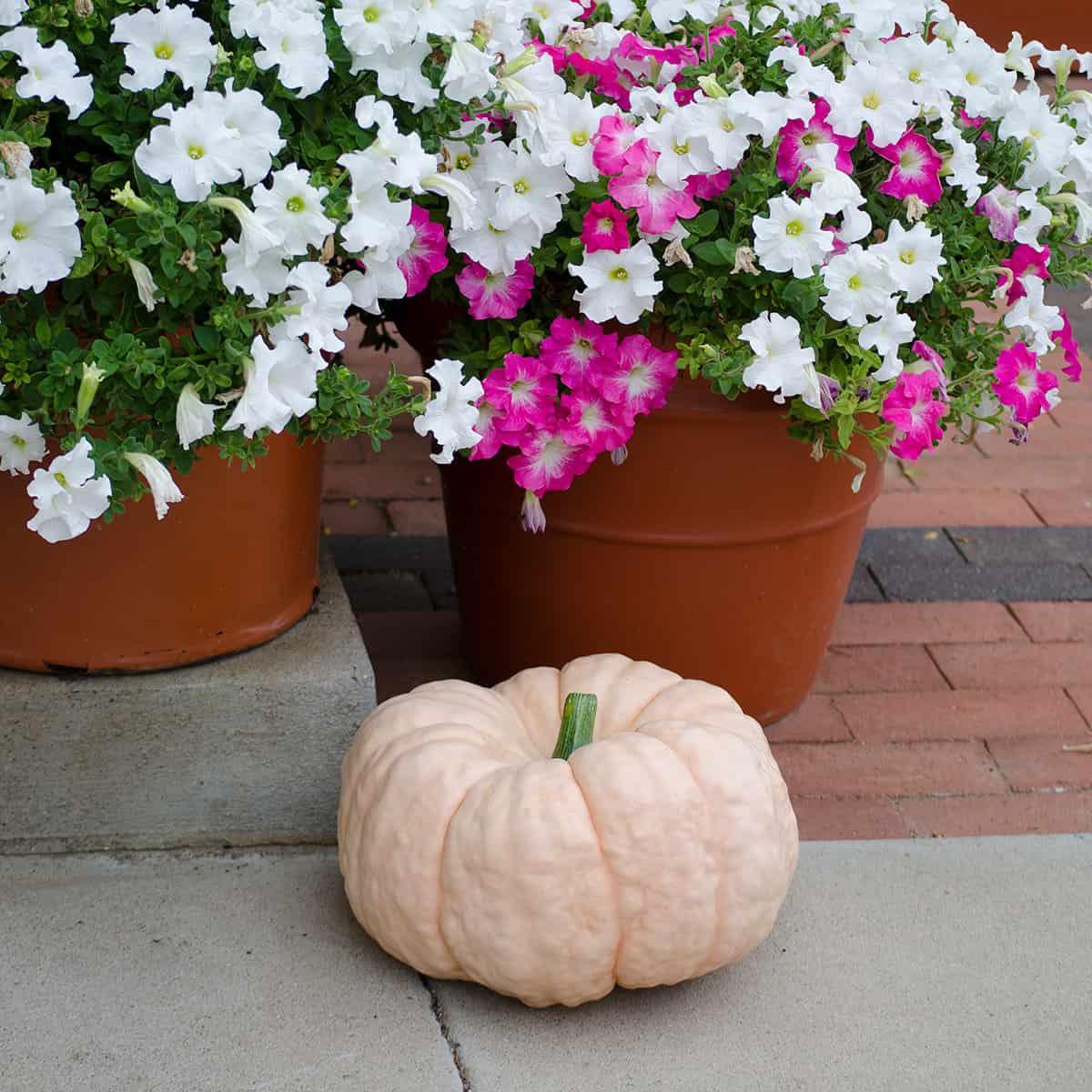 Pink Pumpkins: Changing The World, One Pumpkin At A Time