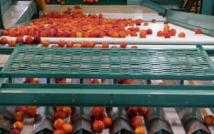 Harvesting and Packing Stone Fruit